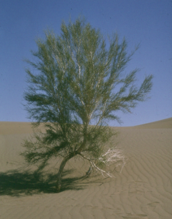 H. persicum and Sand Dune