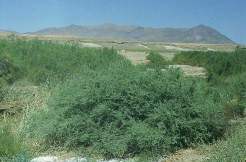 A Salt march plant community.png