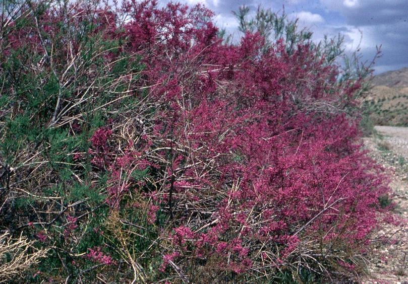 Flowering Tamarix.png