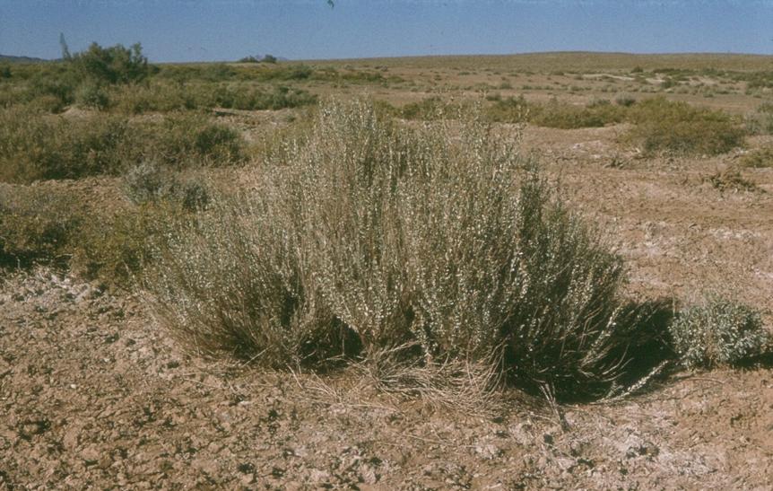 Native Atriplex in Central Desert.png
